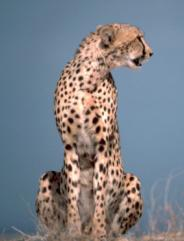 The cheetah: a carnivore or secondary consumer