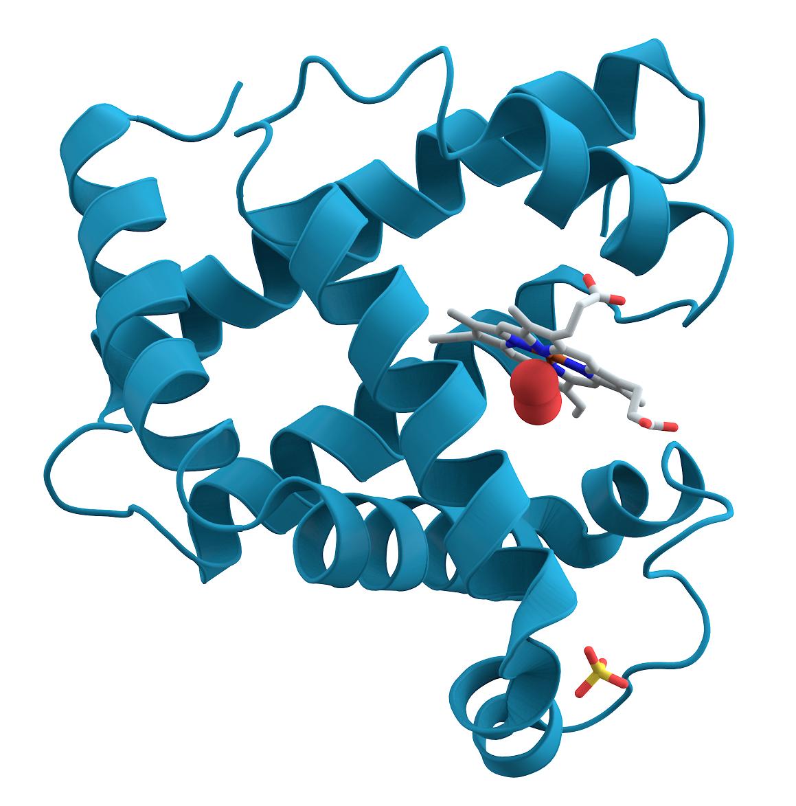 15_Myoglobin