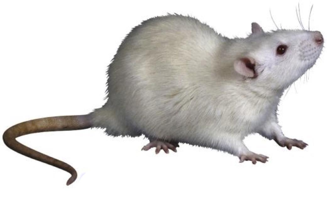02_rat