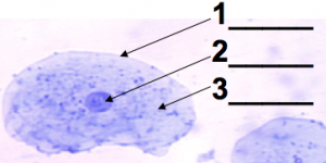 04_cheek cells