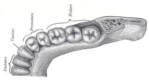 Human teeth (Gray's Anatomy, from Wikipedia)