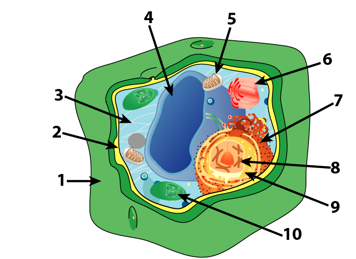 Plant Cell Parts And Functions  Interactive Tutorial