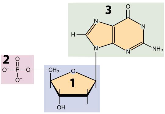 01_nucleotide, numbered