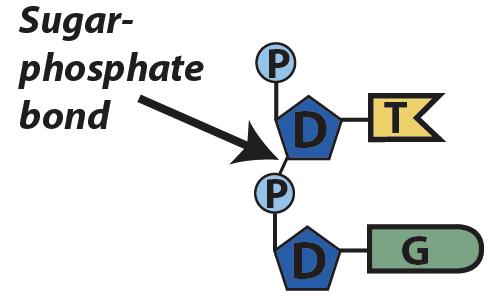 06_sugar-phosphate bond
