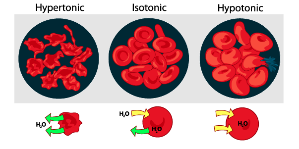 07_red blood cell osmosis with labels