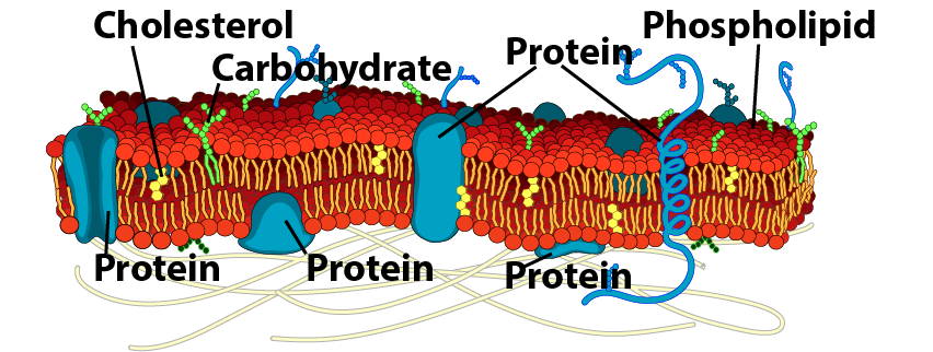 08_labeled, detailed membrane