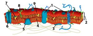 09_detailed phospholipid, numbered