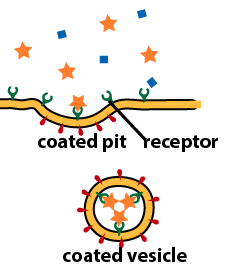 09_receptor mediated endocytosis