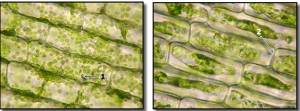 10_elodea, normal and plasmolyzed