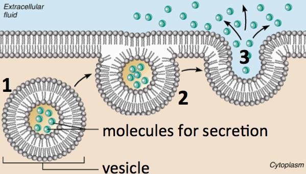 10_exocytosis