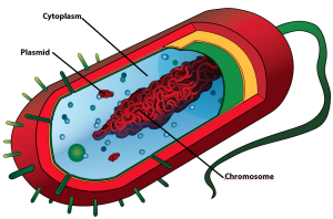 prokaryotic cell (chromsome, plasmids)