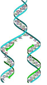 01_DNA-replication-split