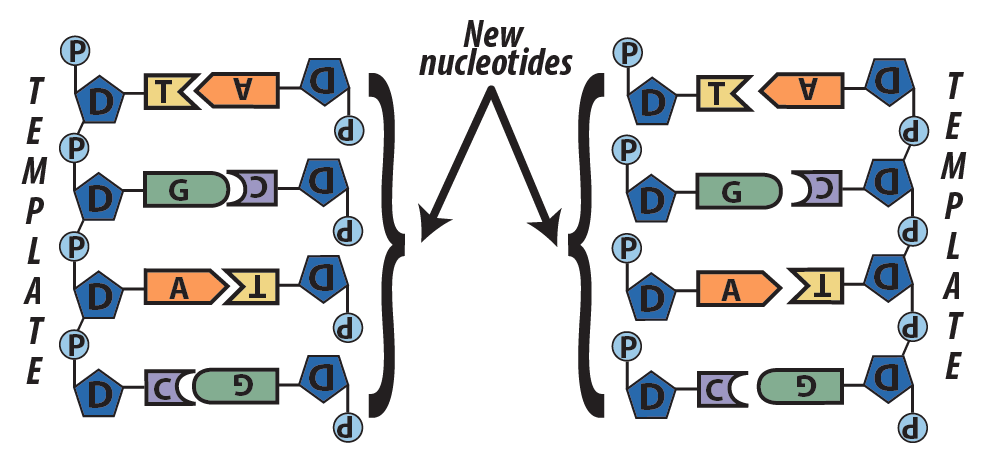 05_strands w new nucleotides (step 3, overview)