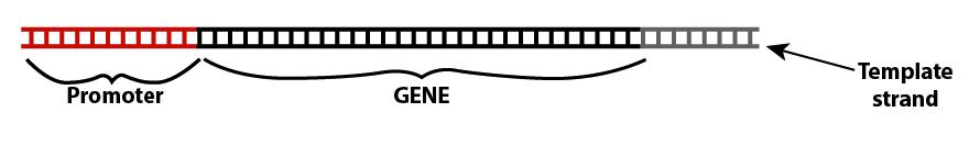 06_genes and transcription