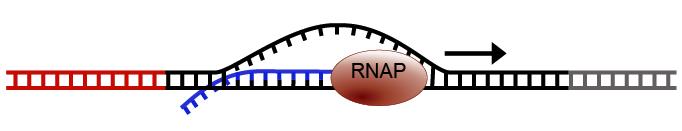 08_RNA starts transcribing