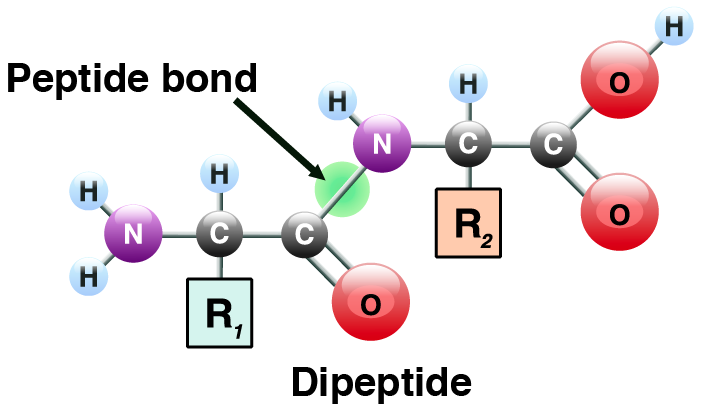 09_dipeptide showing a peptide bond