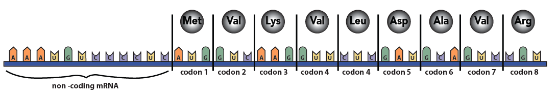 11_mRNA showing codons and corresponding amino acids
