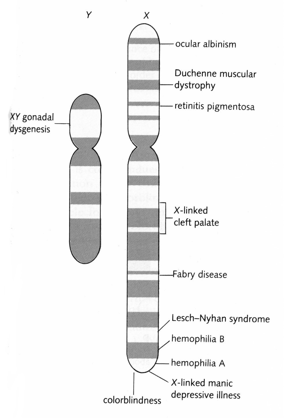 14_X and Y chromsome partial gene map (Image17)