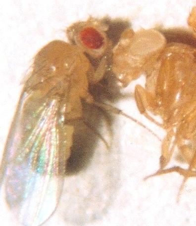 18_a_drosophila ey colors