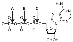 ATP with letters on phosphate bonds