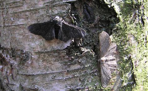 peppered moth(Lichte_en_zwarte_versie_berkenspanner)