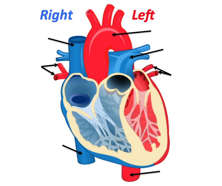 Heart anatomy quizzes and flashcards sciencemusicvideos ccuart Choice Image