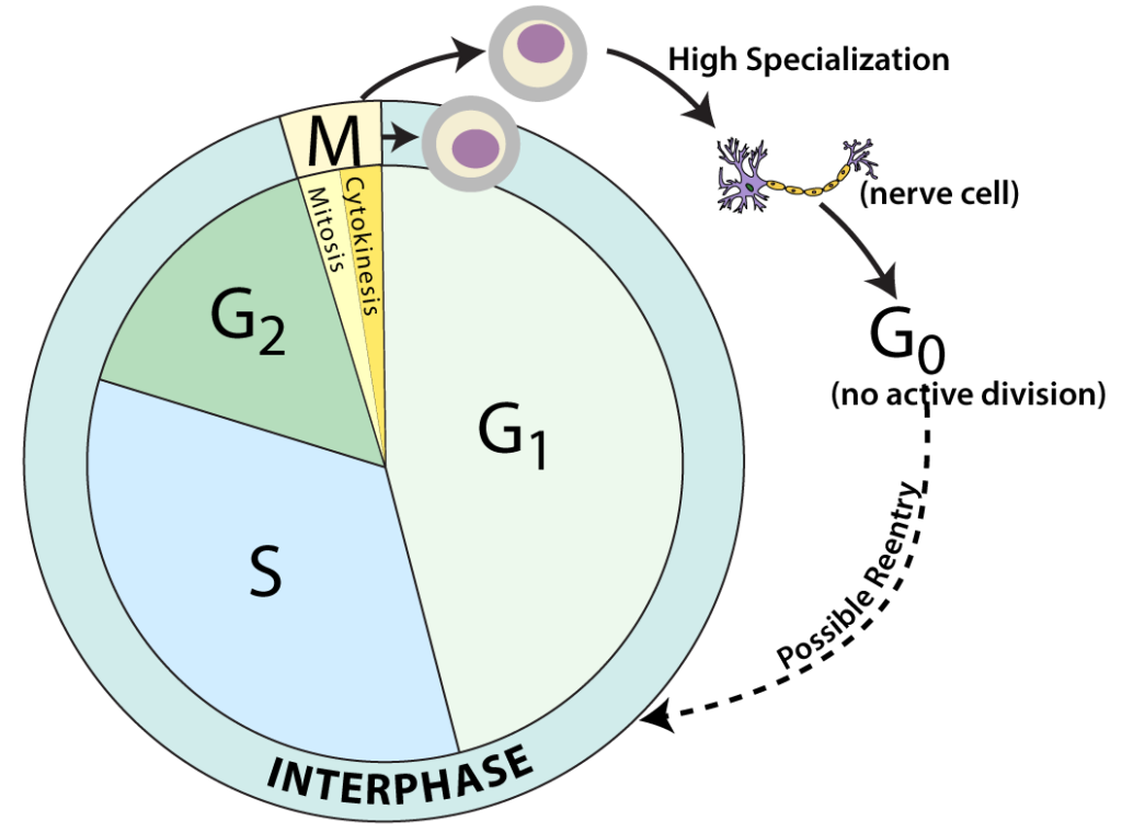 Regulation Of The Cell Cycle Interactive Tutorial Wiring Diagram