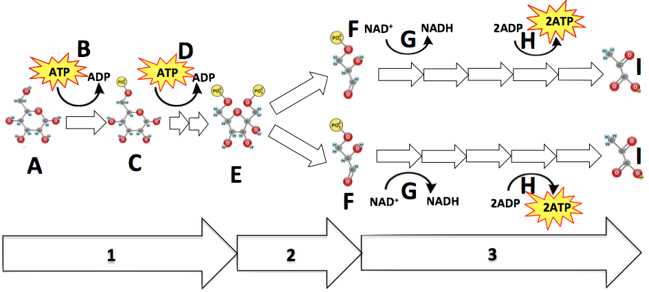 04_glycolysis-partially-numbered