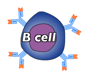 05_immature-b-cell-with-receptors
