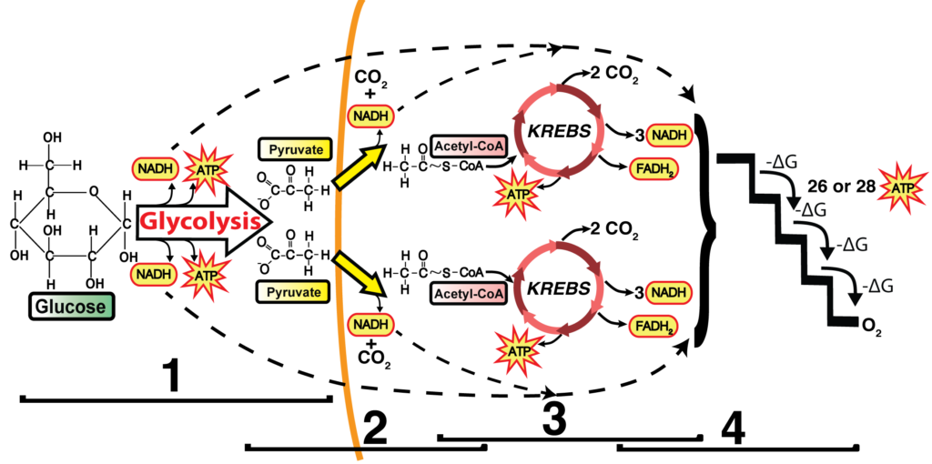 krebs cycle and link reaction: interactive tutorial