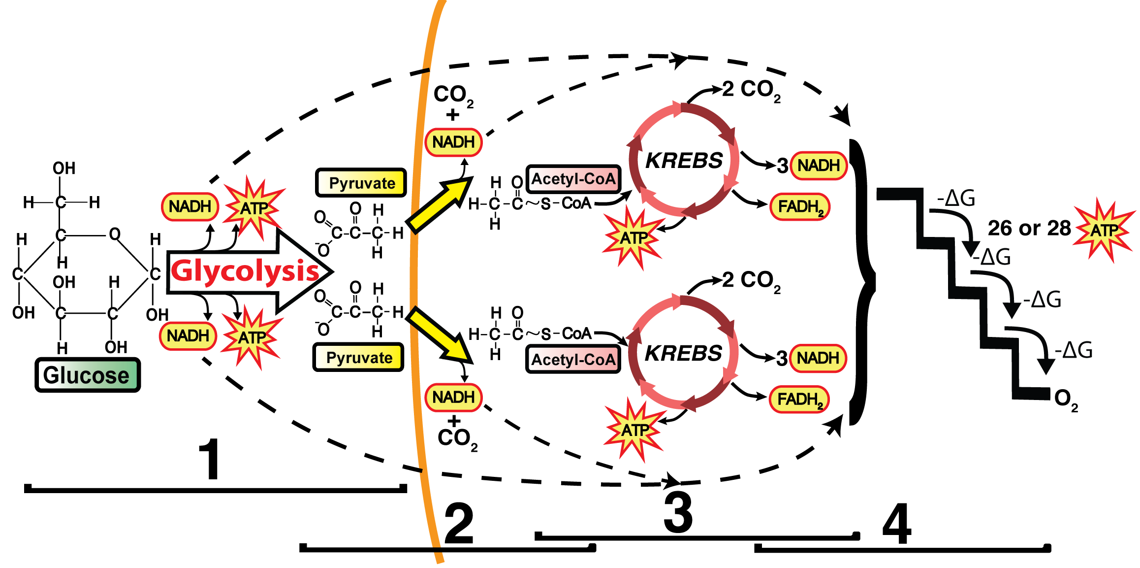the electron transport chain and oxidative phosphorylation (interactive  tutorial)