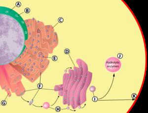 07b_nucleus_er_golgi_lysosome_membrane-lettered