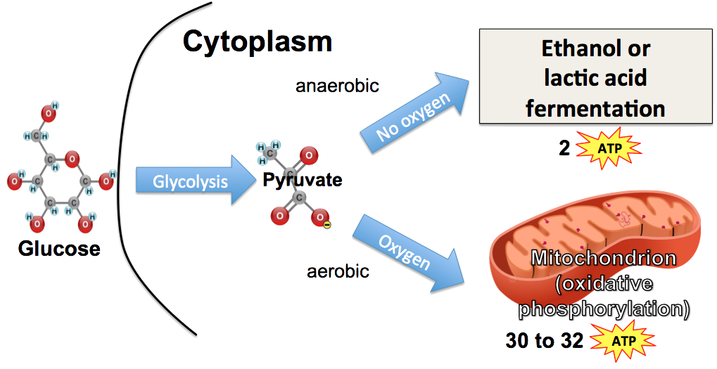 respiration anaerobic glycolysis aerobic fermentation cellular atp oxygen pyruvate diagram happens ap cell biology produced nadh tutorial sciencemusicvideos absence presence