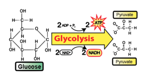11_very-simplified-glycolysis
