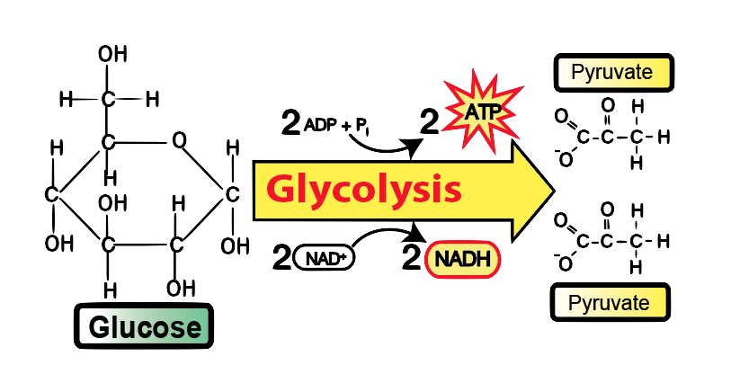 glycolysis tutorial sciencemusicvideos. Black Bedroom Furniture Sets. Home Design Ideas