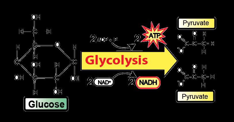 enzymatic diagram of glycolysis glycolysis  tutorial      sciencemusicvideos  glycolysis  tutorial      sciencemusicvideos