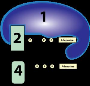 substrate-level-phosphorylation