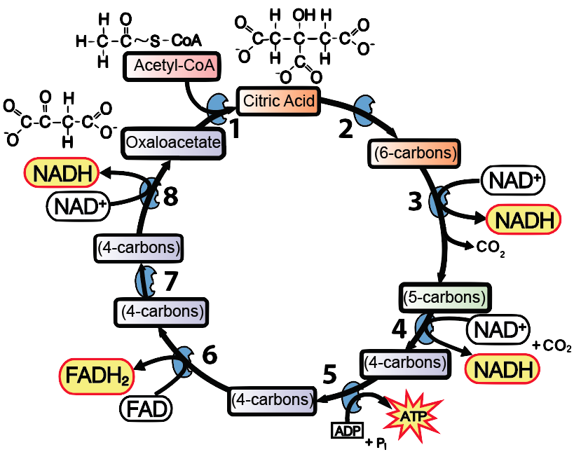 Krebs Cycle And Link Reaction  Interactive Tutorial