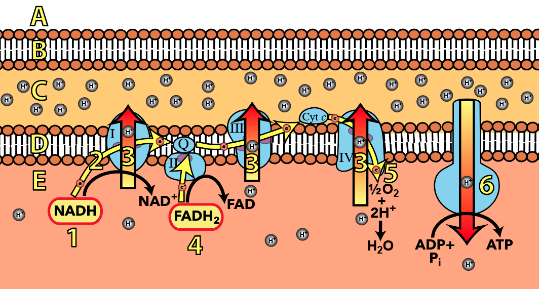 The electron transport chain and oxidative phosphorylation ap bio in the diagram below which number represents the part where youd find atp synthase ccuart Choice Image