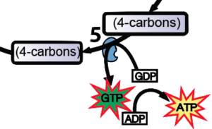 09_gtp-as-an-intermediate-in-phosphorylation