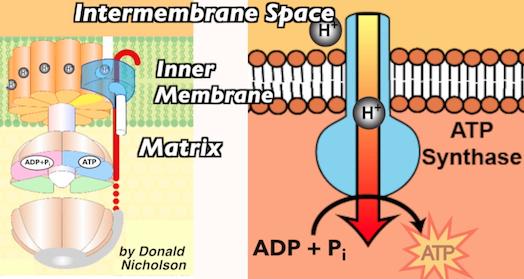 21_atp-synthase-closeup-w-nicholson-image