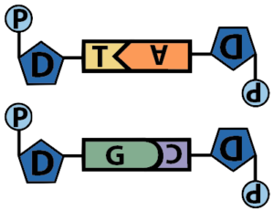02a_base-pairing-entire-nucleotides-schematic