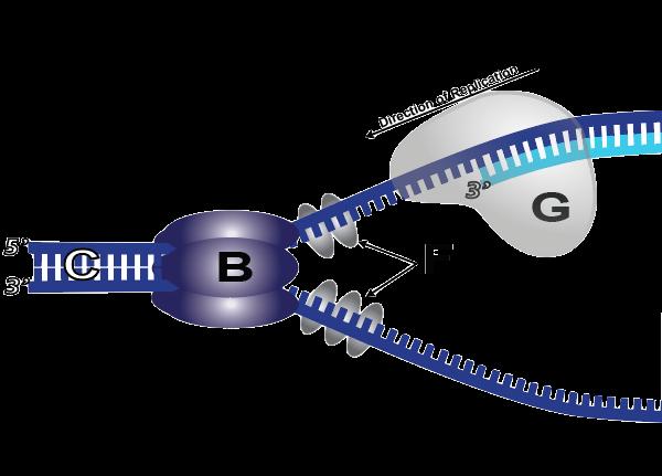Dna-Polymeraasi