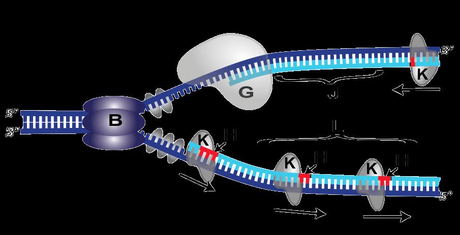 28b-polymerase-1-removing-primer-lettered