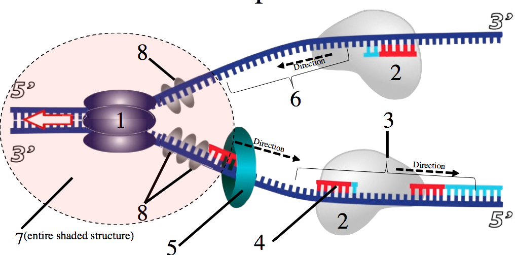 31_dna-replication-smv-numbered