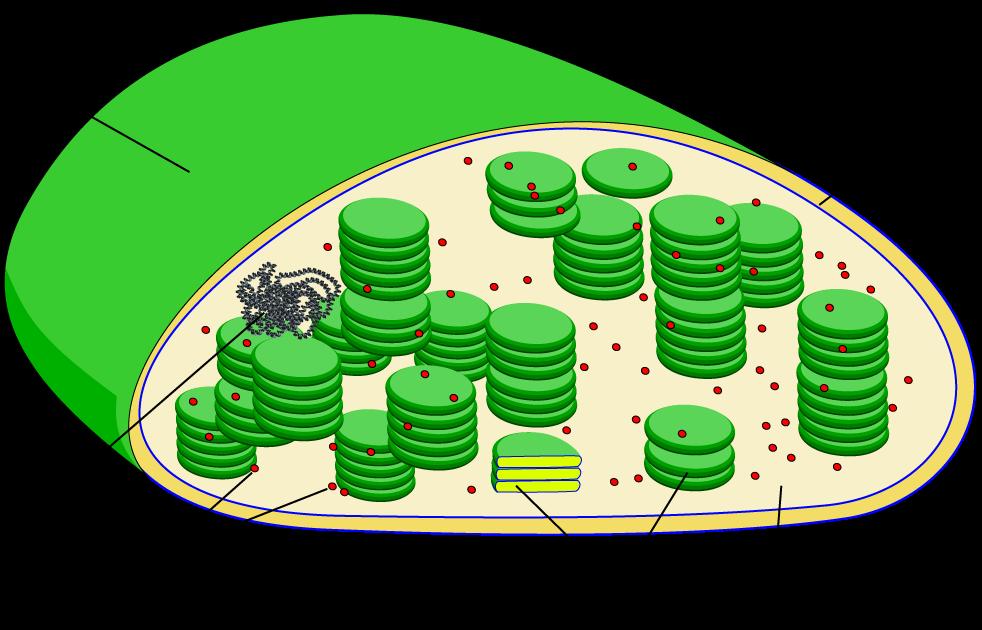 Chloroplast Diagram Quiz Complete Wiring Diagrams