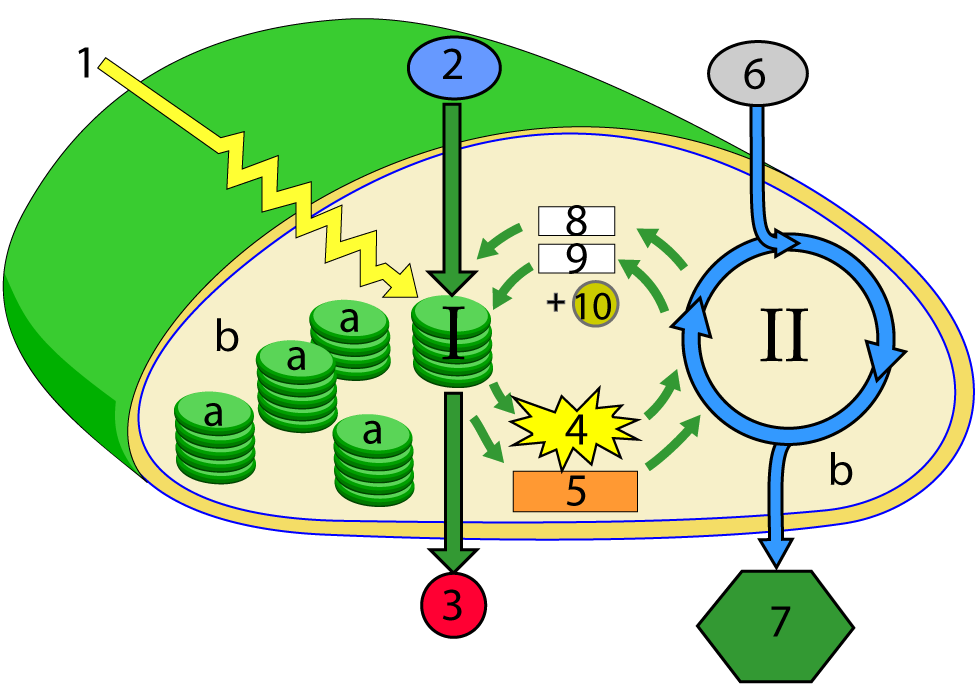 Photosynthesis 5 the calvin cycle and comparing photosynthesis and take the quiz again ccuart Image collections
