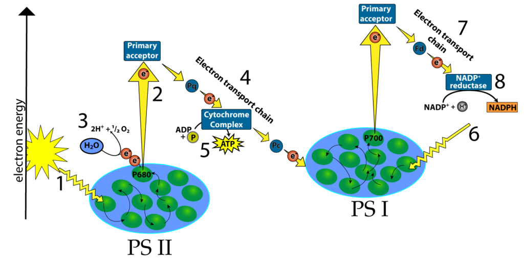 photosynthesis explained The two stages of photosynthesis are light reactions and the calvin cycle light reactions take place first, forming the photo portion of photosynthesis, while the calvin cycle follows, completing the cycle with several steps involving photosynthesis photosynthesis is defined as one process, but.