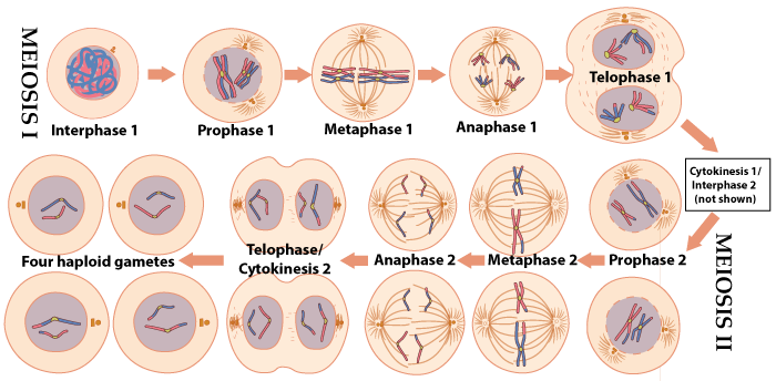 Meiosis Tutorial 3 How Meiosis Creates Variation Wiring Diagram