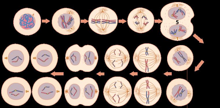 meiosis tutorial 4 sex determination nondisjunction and